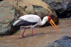 fakturerad yellow för ibis mycteriastork Arkivbilder