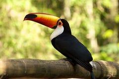 fakturerat orange toucan för fallsiguazu Arkivbild