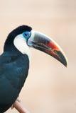 fakturerat rött toucan Royaltyfri Fotografi