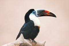 fakturerat rött toucan Royaltyfria Bilder
