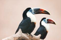fakturerat rött toucan Arkivfoton
