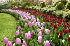 Fala czerwieni i menchii tulipanów Keukenhof ogródy Obrazy Royalty Free