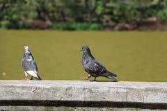 Fala de dois pássaros Imagem de Stock Royalty Free