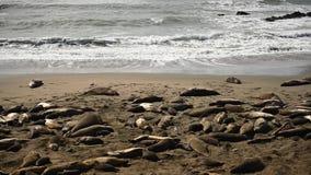 Fala trzask Podczas gdy słoń foki Śpią zbiory