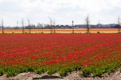 Fala Tulipanowi pola blisko Keukenhof kwiatu ogródu Fotografia Stock