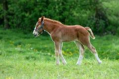 在草甸的Falabella微型马驹 库存图片