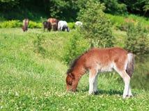 Falabella驹微型马吃草在一个绿色草甸的,有选择性的f 图库摄影