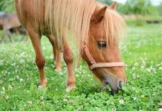 Falabella驹微型马吃草在一个绿色草甸的,有选择性的f 免版税图库摄影