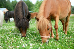 Falabella Foal mini horses grazing on a green meadow, selective. Falabella Foal mini horses grazing on a green meadow in summer, selective focus, in the Royalty Free Stock Images