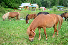 Falabella Foal mini horses grazing, selective focus, in the back. Falabella Foal mini horses grazing on a green meadow in summer, selective focus, in the Royalty Free Stock Photo