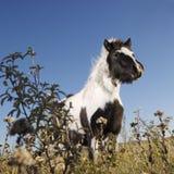 falabella konia miniatura Obrazy Royalty Free
