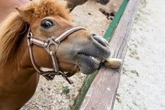 Falabella miniature horse Stock Photos