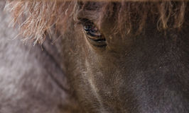 Falabella miniature horse. Portrait of brown Falabella miniature horse, close-up.Shallow depth of field Royalty Free Stock Image