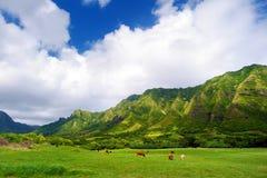 Falaises et vaches de ranch de Kualoa, Oahu Image stock