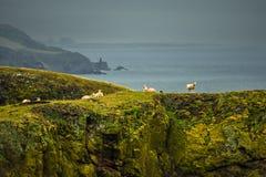 Falaises raides avec les moutons calmes à la côte spectaculaire sur la tête de St Abbs en Ecosse photographie stock