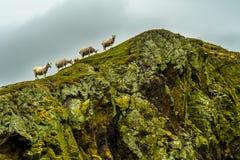 Falaises raides avec les moutons calmes à la côte spectaculaire sur la tête de St Abbs en Ecosse images libres de droits