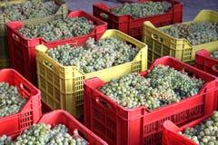 Falanghina wine Stock Images