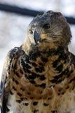 Falcão-águia coroada Fotografia de Stock
