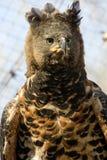 Falcão-águia coroada Imagem de Stock
