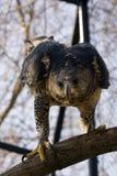 Falcão-águia coroada na árvore Fotografia de Stock Royalty Free