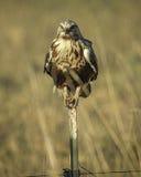 falcão Áspero-equipado com pernas, juvenil fotografia de stock
