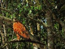 Falcão bonito do brasileiro Pantanal imagens de stock royalty free