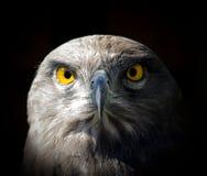 Falcão com olhos amarelos Fotografia de Stock Royalty Free
