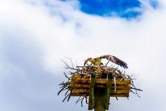 Falcão da águia pescadora ou de peixes em seu ninho sob o céu azul, ao longo da estrada de Coldwater perto de Merritt fotografia de stock