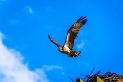 Falcão da águia pescadora ou de peixes que deixa seu ninho sob o céu azul, ao longo da estrada de Coldwater perto de Merritt imagem de stock