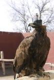 Falcão da caça no museu da falcoaria Imagem de Stock Royalty Free