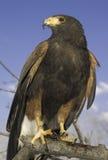 Falcão de Harris (macho) Imagem de Stock Royalty Free