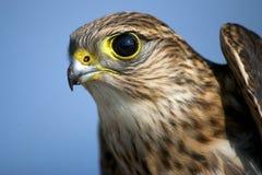Falcão de Merlin Foto de Stock