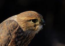Falcão de Merlin ou de pombo (retrato) Imagens de Stock