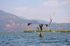 Falcão de peixes fotografia de stock royalty free