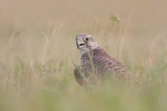 Falcão de Saker (cherrug de Falco). Fotos de Stock
