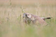 Falcão de Saker (cherrug de Falco). Foto de Stock Royalty Free