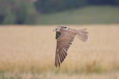 Falcão de Saker (cherrug de Falco). Fotografia de Stock