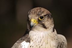 Falcão do pássaro que olha sua rapina foto de stock royalty free