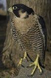 Falcão do peregrino (fêmea) imagens de stock