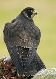 Falcão do peregrino (peregrinus do Falco) Imagens de Stock Royalty Free