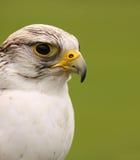 Falcão do peregrino (peregrinus do Falco) foto de stock