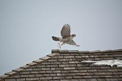 Falcão do tanoeiro que descola de um telhado Fotografia de Stock Royalty Free