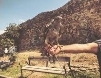 Falcão domesticado que senta-se na mão mestra do ` s Dia de verão em Tbilisi velho imagem de stock royalty free