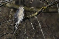 Falcão dos tanoeiros da caça empoleirado em uma árvore Imagens de Stock