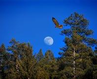 Falcão e lua Imagens de Stock Royalty Free