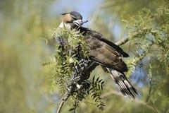 Falcão-Eagle Imagens de Stock Royalty Free