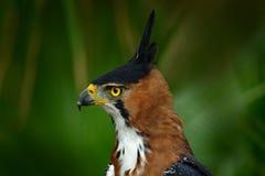 Falcão-Eagle ornamentado, ornatus de Spizaetus, pássaro de rapina bonito de Belize Ave de rapina no habitat da natureza Pássaro d imagem de stock royalty free