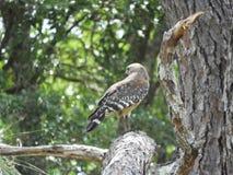 Falc?o em um ramo de pinheiro que procura pelo alimento fotografia de stock royalty free