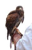 Falcão na mão do falcoeiro Imagem de Stock Royalty Free