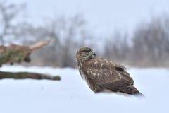 Falcão no inverno Foto de Stock